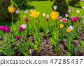 Funny tulips of bright colors under the rays of th 47285437