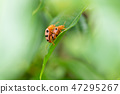 Ladybugs breeding on the leave 47295267