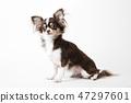 Chihuahua dog sitting on white studio background 47297601