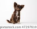 Chihuahua dog sitting on white studio background 47297610