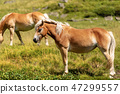 Brown and white wild horses in mountain 47299557
