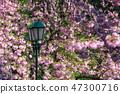 lantern among cherry blossom 47300716