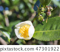 closeup of green branch of tea tree Camelia Camellia sinensis white and yellow flower blossom 47301922