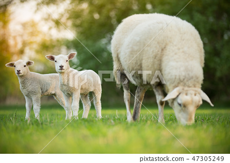 cute little lambs with sheep on fresh green meadow 47305249