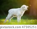 cute little lamb on fresh green meadow 47305251