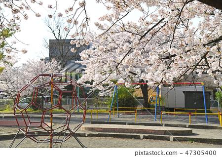 Sakura in Nakahara Peace Park, Nakahara Ward, Kawasaki City 47305400