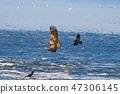 흰 꼬리 수리와 까마귀 47306145