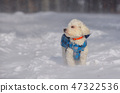 Maltese dog in snowstorm in forest 47322536