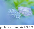 Hydrangea wrapped in front blur 47324229