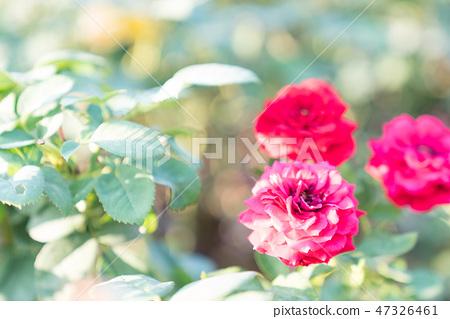 Hanazono中等月球花。爬行的紅色深紅色蝴蝶,緊急獎心眼睛。 47326461