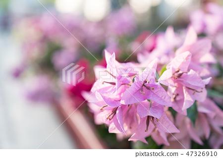 紫色的花頭。花園,花雄蕊,花calya,竹苞。 47326910