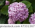 Pink hortensia flowers. 47331367