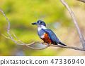 Female Ringed Kingfisher, Megaceryle Torquata, a large and noisy kingfisher bird, Pantanal, Brazil 47336940