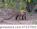 Crab-eating Raccoon, South American Raccoon, Procyon Cancrivorus, Mato Grosso, Pantanal, Brazil 47337002