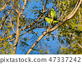 Yellow-chevroned Parakeet, Brotogeris Chiriri, native to tropical South America, Mato Grosso Do Sul 47337242