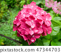 Pink hydrangea flower in full bloom under the rain 47344703