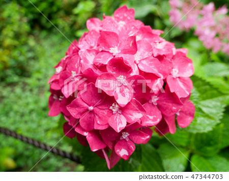 Pink hydrangea flower in full bloom under the rain 47344703