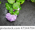 Hydrangea flower on asphalt under the rain 47344704