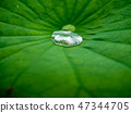 Water drop on a green lotus leaf 47344705