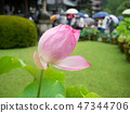 Pink lotus flower starting to bloom 47344706