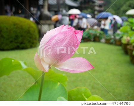 Pink lotus flower starting to bloom 47344706