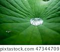 Drop of water on a green lotus leaf 47344709