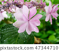Hydrangea flower under the rain 47344710
