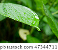 Fresh green hydrangea leaf under summer rain 47344711