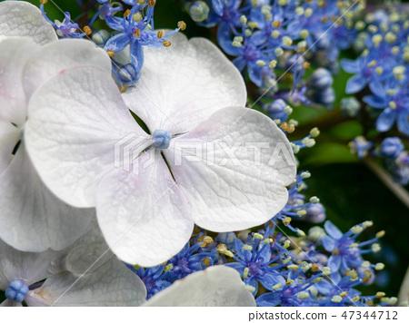 Light blue hydrangea flower close-up 47344712