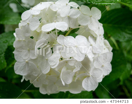 Soft and beautiful white hydrangea flower 47344713