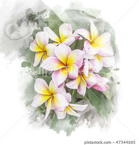 Blossom plumeria flower. 47344885