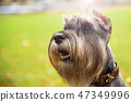 Portrait mini Schnauzer with interesting eyes outdoors 47349996