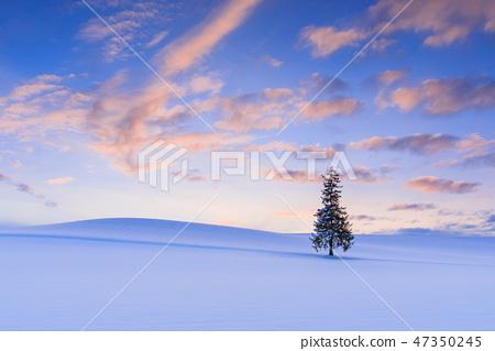 홋카이도 _ 크리스마스 트리 나무 47350245