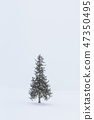 홋카이도 _ 크리스마스 트리 나무 47350495