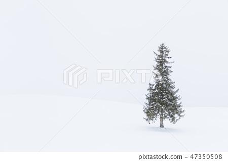 홋카이도 _ 크리스마스 트리 나무 47350508