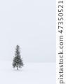 홋카이도 _ 크리스마스 트리 나무 47350521