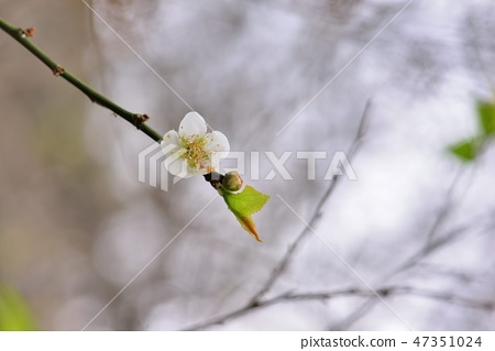 梅花和花樹泰安梅花園。 47351024