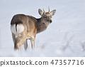 在雪原(北海道)轉過身的年輕男性Ezoshika 47357716