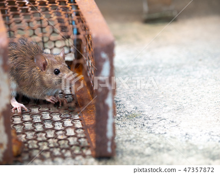 Rat is trapped in a trap cage or trap. 47357872