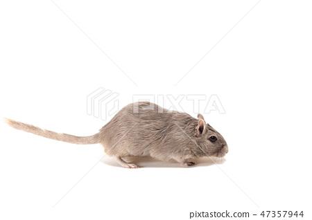 Mongolian gerbil, Desert Rat 47357944