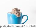 Mongolian gerbil, Desert Rat 47357948