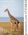 탄자니아 마냐라 호수 국립 공원 사파리 기린의 친자 47358838