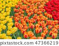 Yellow, orange and red tulips in a Keukenhof park 47366219