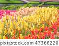 Yellow, red and pink tulips in a Keukenhof park 47366220