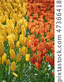 Red and Yellow Tulips 47366418