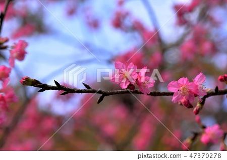 盛開櫻花在台灣泰安鄉 47370278