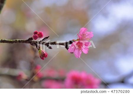 盛開櫻花在台灣泰安鄉 47370280