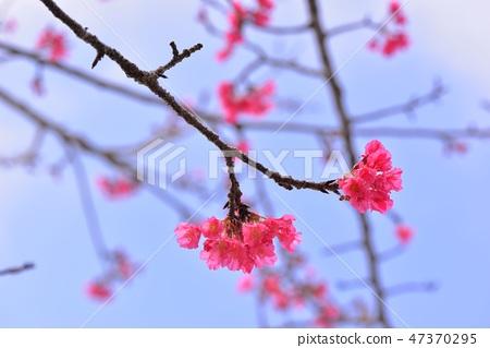 盛開櫻花在台灣泰安鄉 47370295