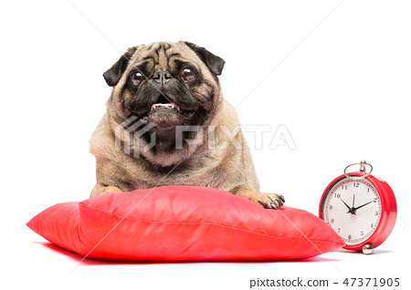 Pug dog laying on a red pillow with a clock. 47371905