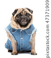 Smiling pug in fashionable vest. 47371909
